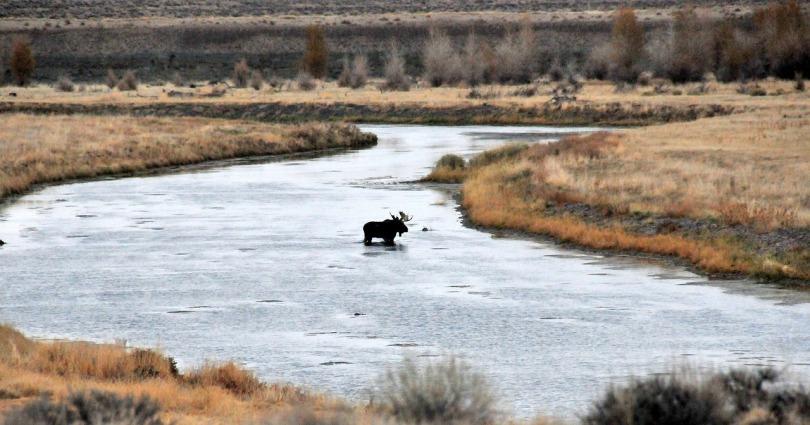 bull-moose-957794_1280